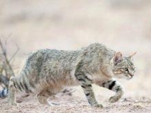 Tlustá africká kočička