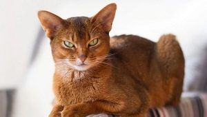 Abyssinian cats of sorrel color: color and subtlety of care