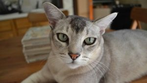 Asian cat: description and character of the breed, its contents