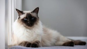 Balinese cat: origin, nature and conditions of detention