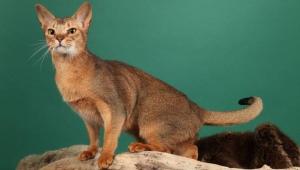 Ceylon cats: breed description and characteristics of the content