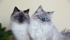 What are the colors of cats Neva Masquerade breed?
