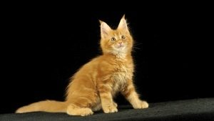 Short-haired and smooth-haired Maine Coons: description and features of care