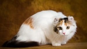 Cats breed American Curl: features, rules of feeding and maintenance