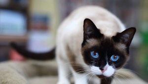 Snow-shu cats: description, color variations and content