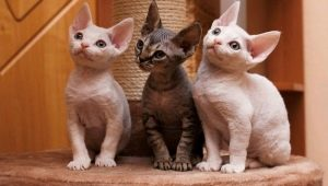 Rex cats: popular breeds and their content