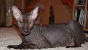 Bald cats: characteristics, types, rules of care