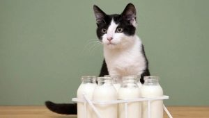 Is it possible to milk cats and what are the limitations?