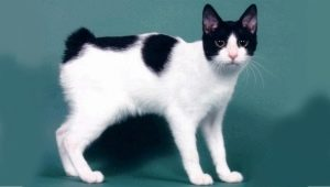 Description, character, feeding and breeding cats Japanese bobtail