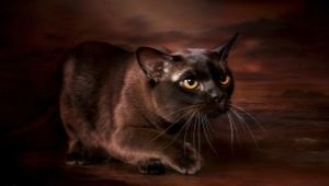 Description and content of chocolate-colored Burmese cats