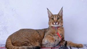 Description and content of cats breed karaket