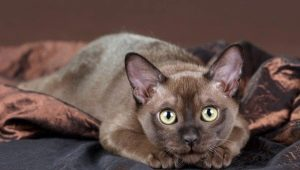 Description of the breeds of chocolate cats and their content