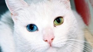 Breeds of cats with eyes of different colors and their particular health