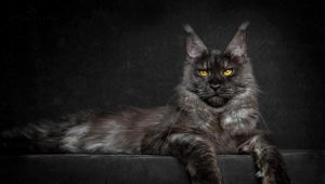 The largest maine coon in the world