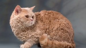 Selkirk Rex: features, choices and rules of care