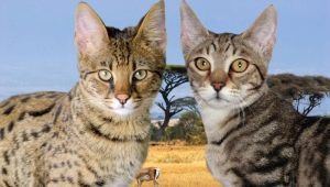 Serengeti: description of the breed of cats, especially the content