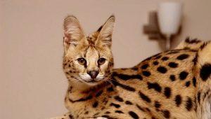 Serval: description, color options, especially the content and feeding