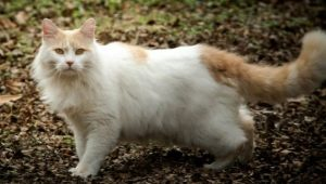 Turkish van: a description of the breed of cats, keeping and breeding