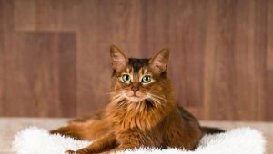 Everything you need to know about Somali cats