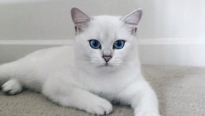 All about cats and cats breed Kobe