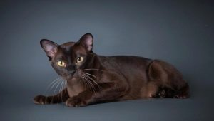 All about cat breed European Burmese