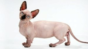 All about breed cats Minsk