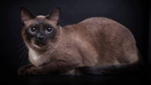 Burmese cats: breed description, variety of colors and rules of keeping