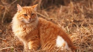 What do you call a cat and a red cat?