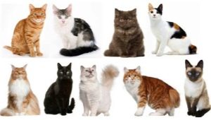 How to determine the breed of cats and cats?
