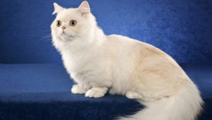 Cats of Napoleon breed: description and features of care