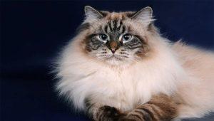 Neva Masquerade Cats: Breed Description, Content Features