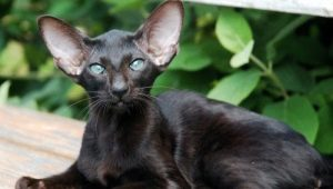 Description and conditions of keeping black oriental cats
