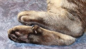 Fingers in cats: their function and quantity