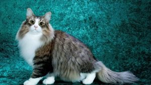 Fluffy cats: the best breeds and features of their care