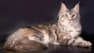 The biggest domestic cats in the world