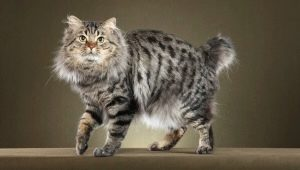 All about cats American bobtail