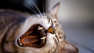 Cat teeth: number, structure and care