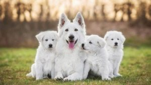 White dogs: color features and popular breeds