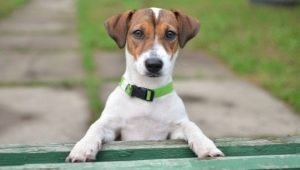 Jack Russell Terrier: breed description, character, standards and content