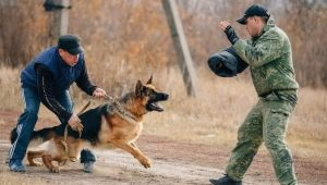 How to train your dog team Fas?
