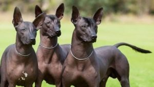 Peruvian hairless dogs: a description of the breed, the rules of its content