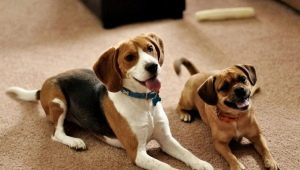Breeds of the most unpretentious dogs and the rules of their choice