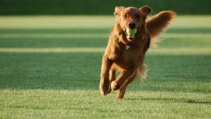 Secrets of teaching the dog team Aport