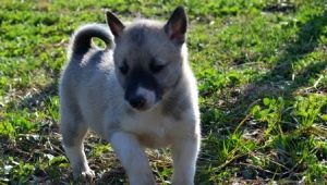 Husky puppies in 1-2 months: characteristics, food, walks and training