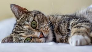 All about cats: description, types and content