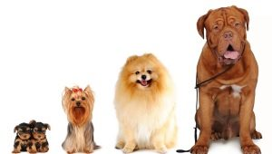 All about dog sizes: types and ways of measuring