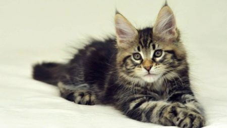 What and how to properly feed a Maine Coon kitten?