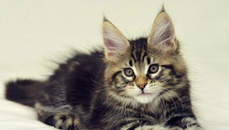 Maine Coon Kucing 25 Gambar Sehingga Berapa Umur Mereka Berkembang Apa Yang Kelihatan Seperti Kucing Pada 1 Dan 2 3 Dan 4 5 Dan 6 Bulan