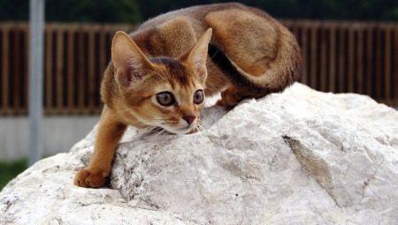 Sifat kucing Abyssinian (16 gambar): gambaran baka dan
