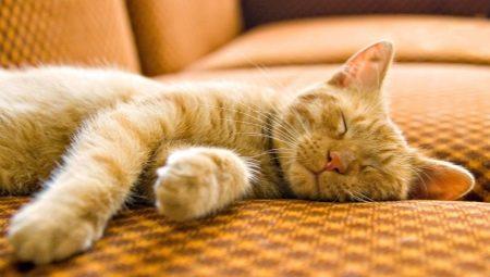Berapa Banyak Kucing Tidur 16 Gambar Berapa Lama Kucing